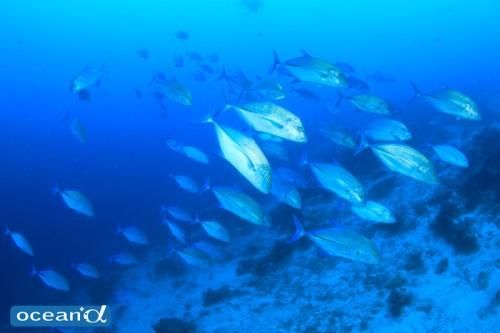 セブ島、ボルホーンの魚の群れ(撮影:越智隆治)