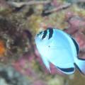 鵜来島のヒレナガヤッコ幼魚