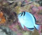 次の記事: 【鵜来島】台風のおかげで出会えた、珍しいヒレナガヤッコの幼魚