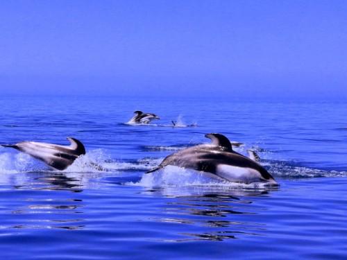 北海道積丹半島のイルカ