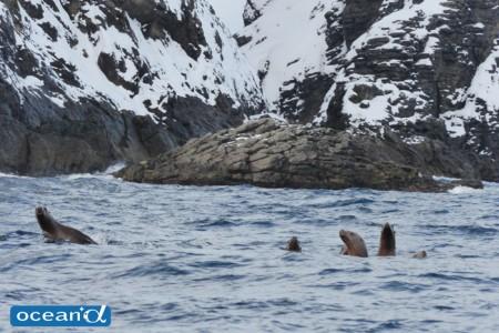 船上からは泳ぐトドの群れや岩場で休憩するトドが見られる。ちなみに、オットセイは上陸しない