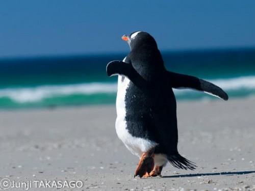 フォークランドのペンギン(撮影:高砂淳二)
