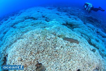 花びらのようなサオトメシコロサンゴの群生