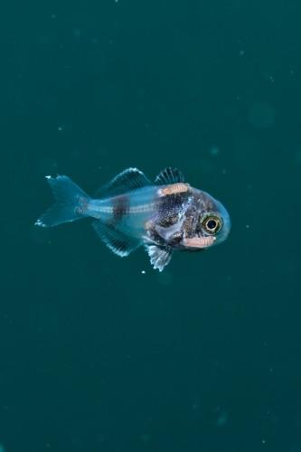 イボダイ幼魚のパラサイト