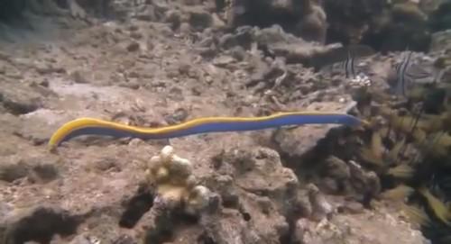 ハナヒゲウツボの捕食