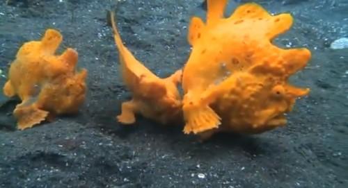 カエルアンコウの群れ
