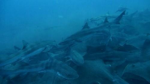 折り重なるようにして群れるドチザメ