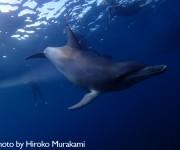 次の記事: 2013年1発目の御蔵島ツアー、次から次に現れたイルカたち!