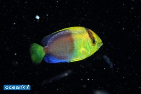 見る見るうちに色がつき始める、ソメワケヤッコ稚魚