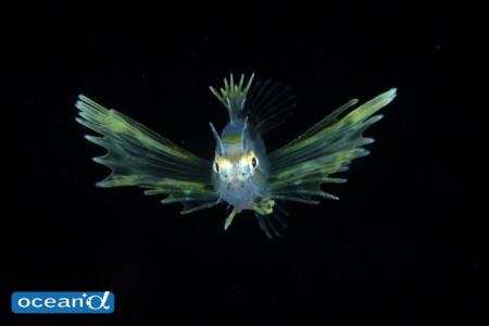 着底まじかのネッタイミノカサゴの稚魚