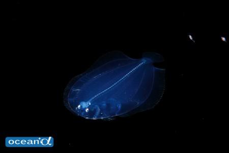 この手の種類は飼育してみて初めて種類が判る。ダルマガレイ科の稚魚