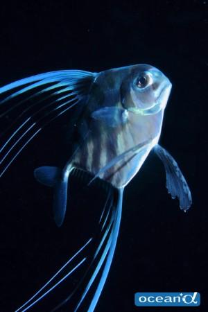 MNDでは小さいものばかり探している事が多いせいか、かなり大きく感じたイトヒキアジの幼魚