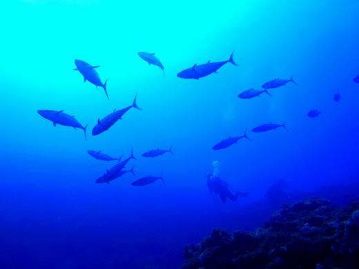 【阿嘉島】例年になく多いキビナゴと、それを追うイソマグロ