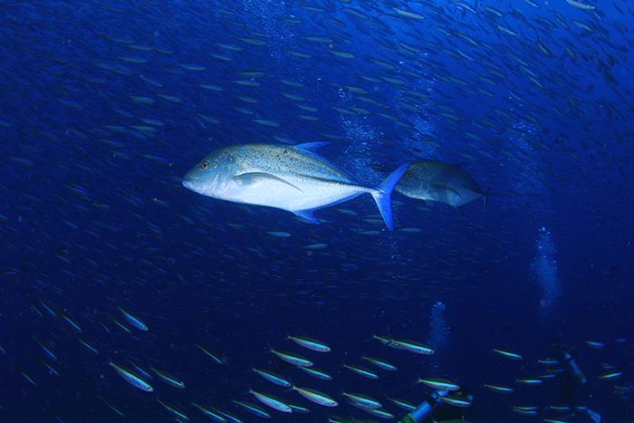 【モルディブ】いつ見てもワクワクするカスミアジの捕食シーン
