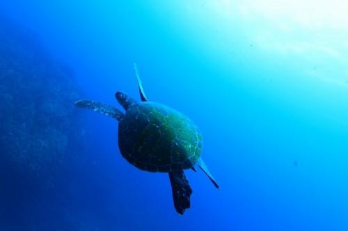 ウミガメに興味を示す神子元ダイバーは少ない