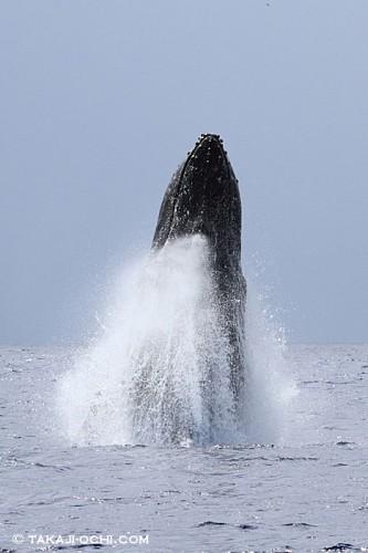 ロケットの発射の瞬間のように、激しく水しぶきを上げて、ブリーチングをするザトウクジラ