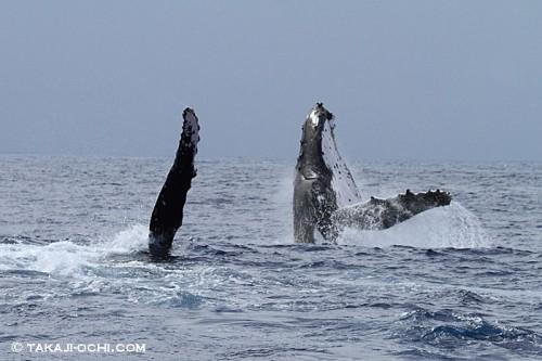 ペアのクジラが、連続でブリーチングやペクトラルスラップを繰り返した