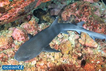 ネコザメとドチザメのコラボ。長い間ダイバーが入っていなかったため、根の間は安心しきったサメだらけ