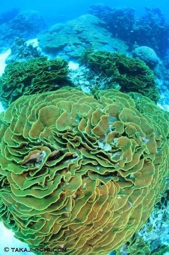 グレートバリアリーフのサンゴ(撮影:越智隆治)