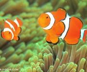 次の記事: 「ニモはカクレクマノミ?」を本場グレートバリアリーフの海で考