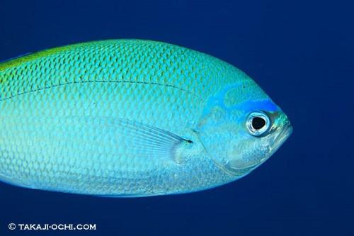エイジンコートリーフの魚(撮影:越智隆治)