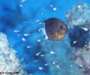 前の記事: 夫婦で子育てする珍しい海水魚、スパイニークロミス