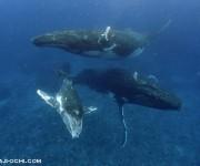 次の記事: クジラを見に来たハネムーンのカップル。2013年トンガホエー