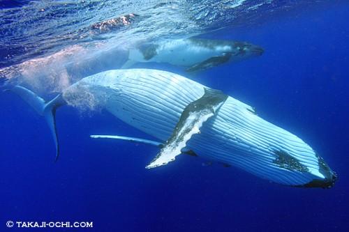 ザトウクジラの画像 p1_8