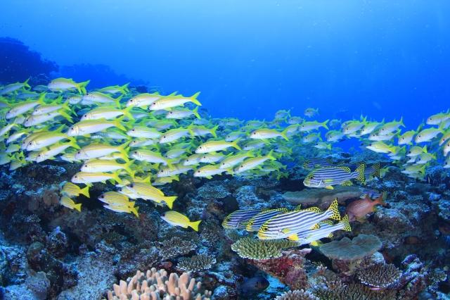 【モルディブ】ヨスジフエダイの群れが映える海