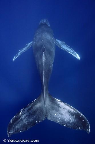 トンガのクジラ(撮影:越智隆治)