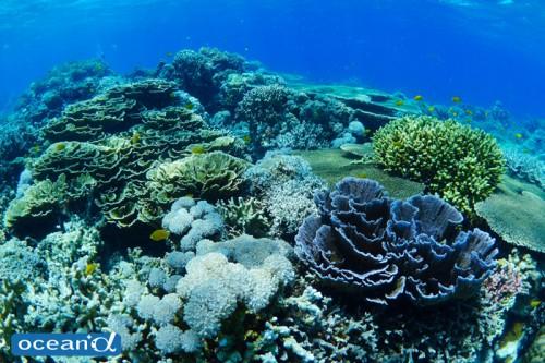 セブ島のサンゴ(撮影:越智隆治)