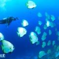 セブ島のツバメウオの群れとダイバー(撮影:越智隆治)