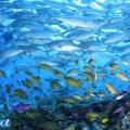 セブ島のギンガメアジの群れ(撮影:越智隆治)