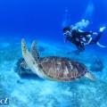 セブ島のウミガメとダイバー(撮影:越智隆治)
