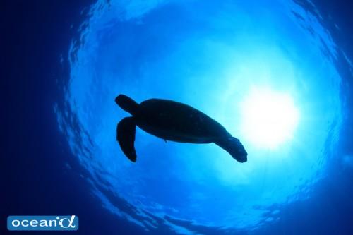 セブ島のウミガメのシルエット(撮影:越智隆治)