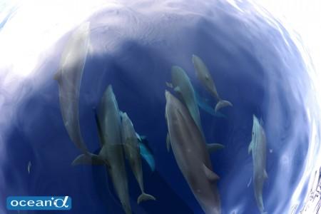 セブ島のベタ凪と船上からのハンドウイルカの群れ(撮影:越智隆治)