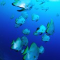 セブ島のツバメウオの群れ(撮影:越智隆治)