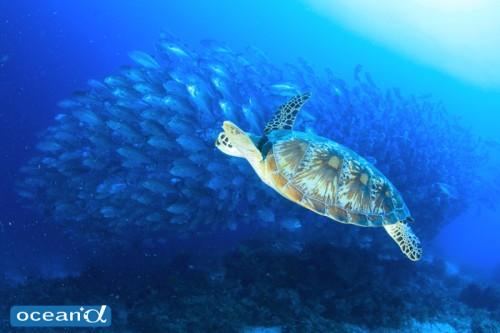 セブ島のウミガメと魚の群れ(撮影:越智隆治)