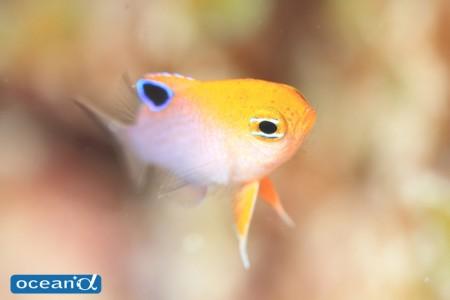 タルボッツダムゼルの幼魚(撮影:越智隆治)