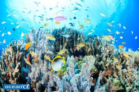 バリカサグ島のメラネシアンアンティアスの群れ(撮影:越智隆治)