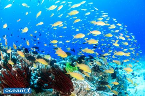 スミロン島のサンゴと魚の群れ(撮影:越智隆治)