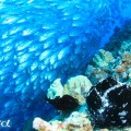 セブ島の魚の群れ(撮影:越智隆治)