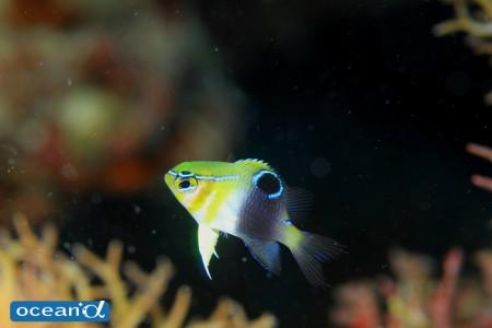 バーチークダムゼル(カザリスズメダイ)の幼魚(撮影:越智隆治)