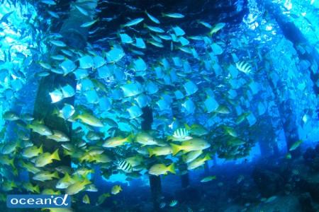 フィリピン・ナルスアン島の桟橋下の魚の群れ(撮影:越智隆治)