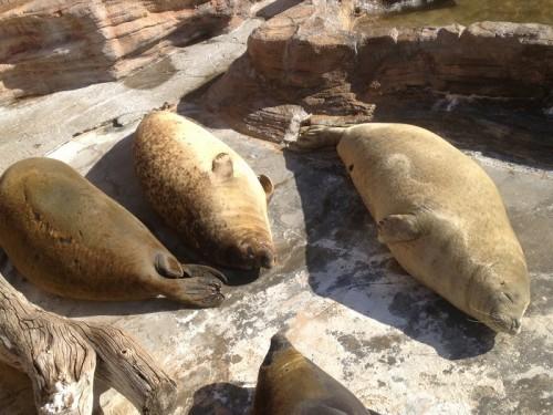 鴨川シーワールドのアザラシ