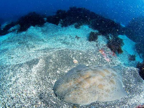 伊豆半島のカスザメ