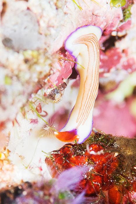 ウミウシも躍動する、パプアニューギニアの海