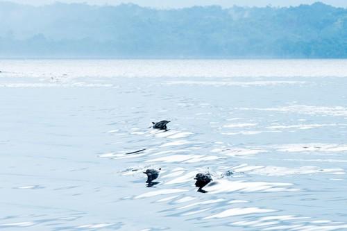 パプアニューギニアのイルカの群れ(撮影:岡田裕介)