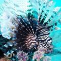 パプアニューギニアのミノカサゴ(撮影:岡田裕介)