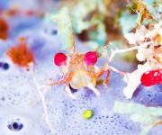 前の記事: 毛むくじゃらのニシキフウライウオも!サンゴの海の珍しい生き物